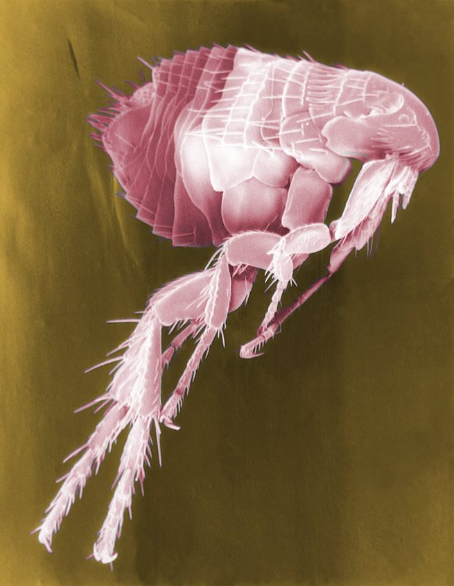 Scanning Electron Micrograph (False Color) of a Flea