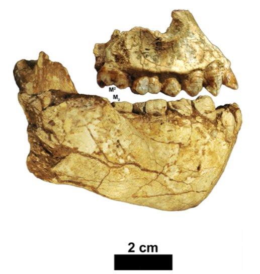 Australopithecus deyiremeda fossils