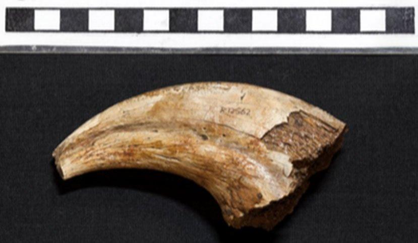 Cretaceous Fossil Dinosaur Claw