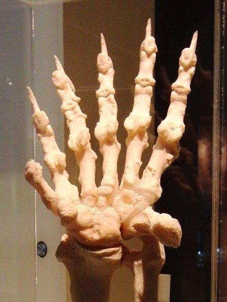 Giant Panda Hand Bones