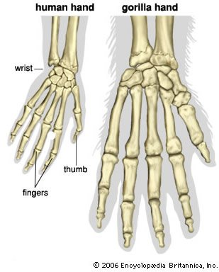 Human Hand and Gorilla Hand