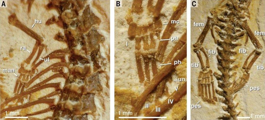 Tetrapodophis