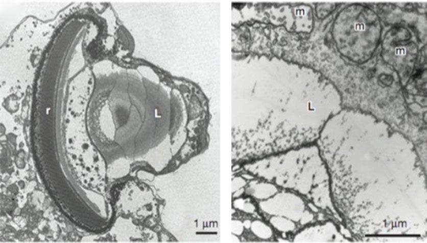 Ocelloid Electron Micrographs