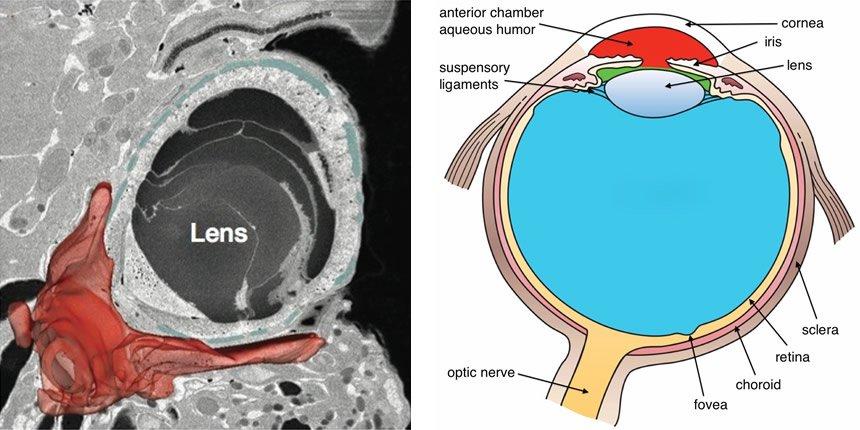 Ocelloid Eye and Human Eye