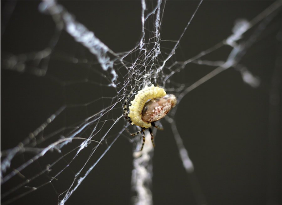 Orb spider and wasp larva