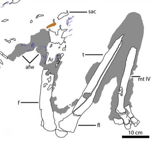 Ornithomimus Bones