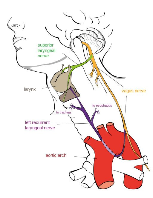 Left Recurrent Laryngeal Nerve