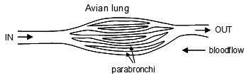Avian Lung