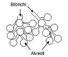 Bronchi and Alveoli