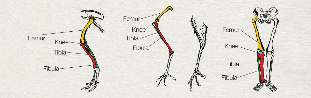 Similarity of Leg Bones