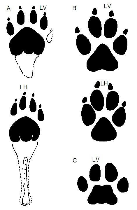 Tasmanian Tigers: Extinct or Elusive? | Answers in Genesis