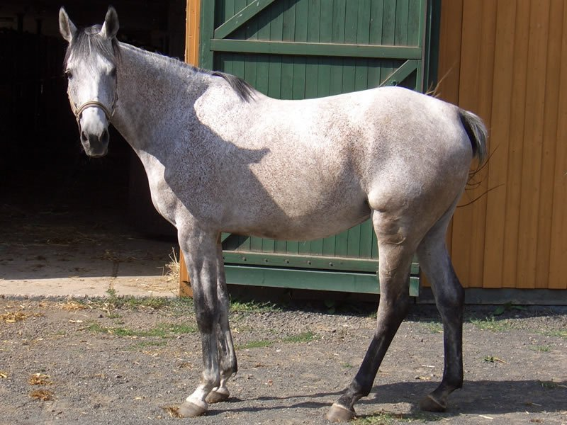 Anglo-Arab horse
