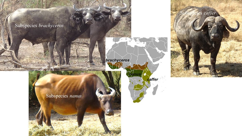 African Cape Buffalo Subspecies