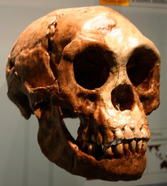Cast of LB1 Skull