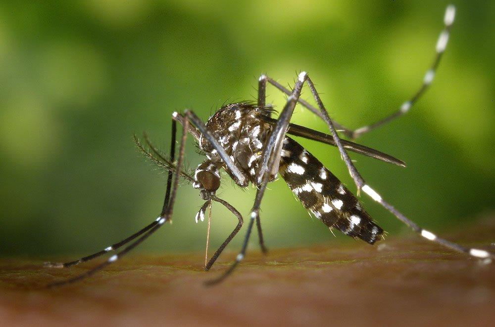 Gathany Aedes albopictus