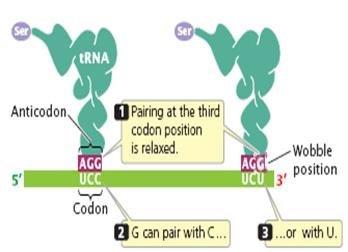 Extended Anticodon