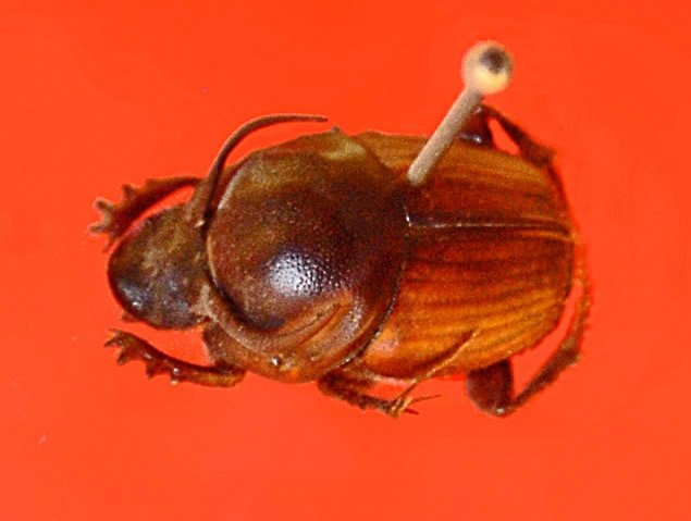 Male Horned Scarab Beetle
