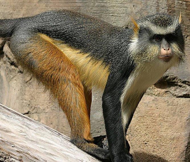 Cercopithecus wolfi