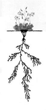 Alpine Draba Plant