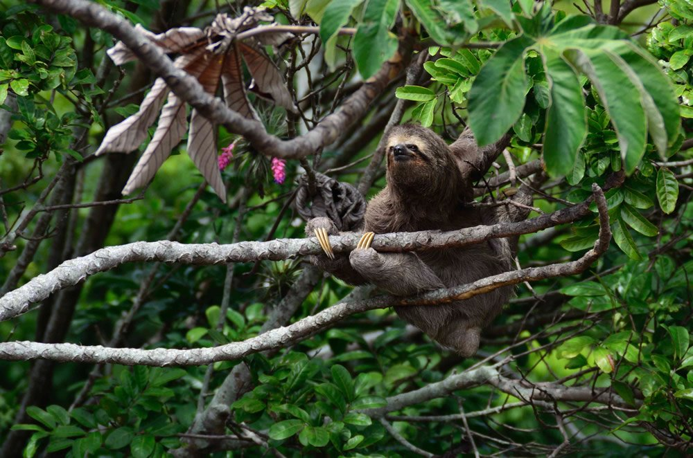 Sloth Perched in Tree