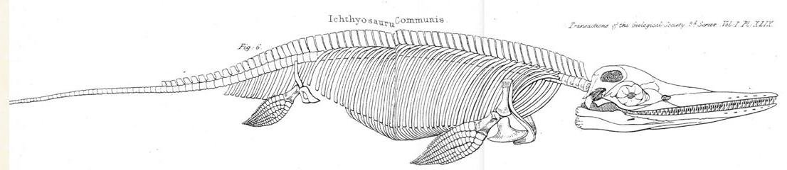 Diagram of the skeletal anatomy of Ichthyosaur communis
