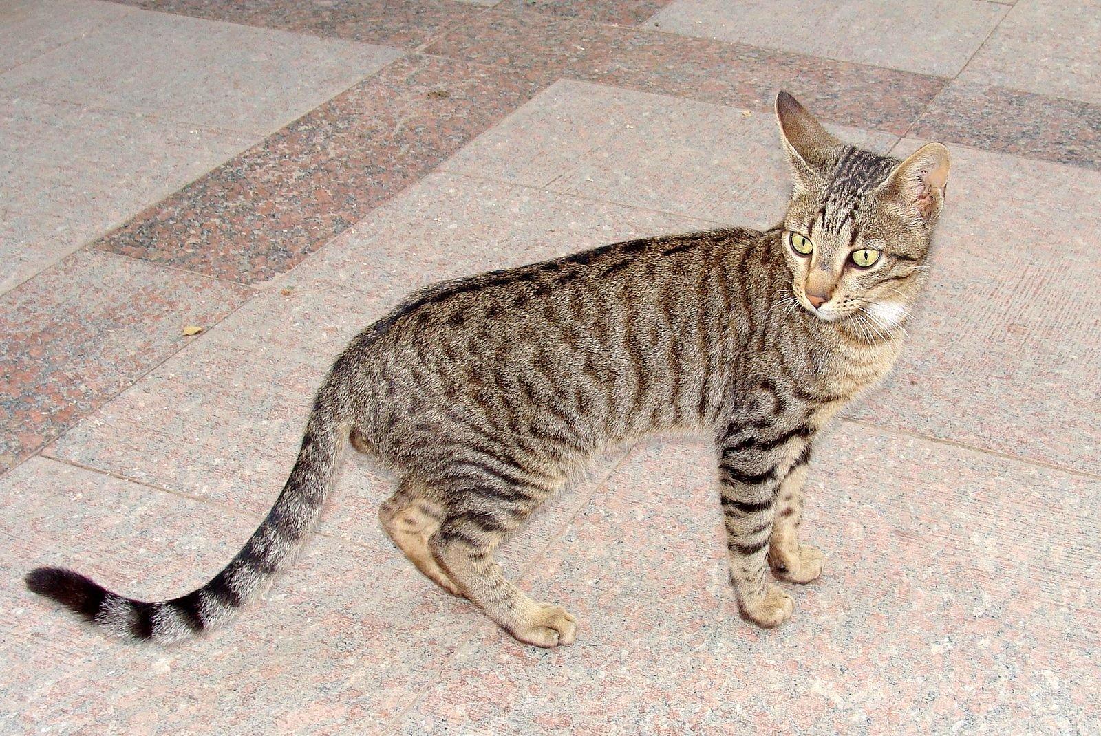 Egyptian mau 2