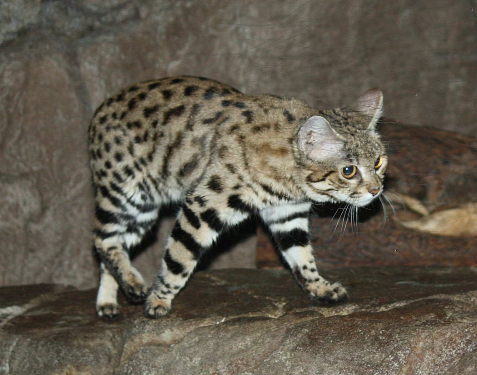Black-Footed Cats