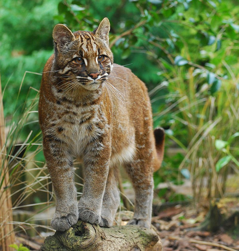 Asian Golden Cat 2