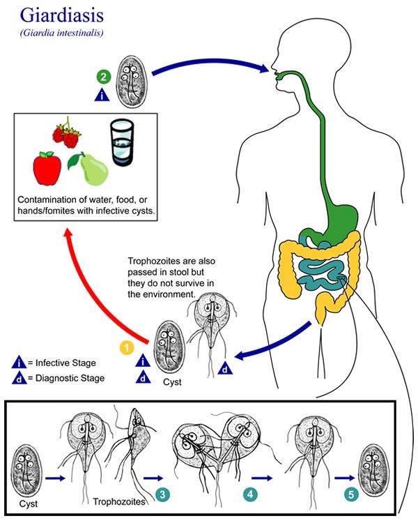 a giardiasis kezelésére e
