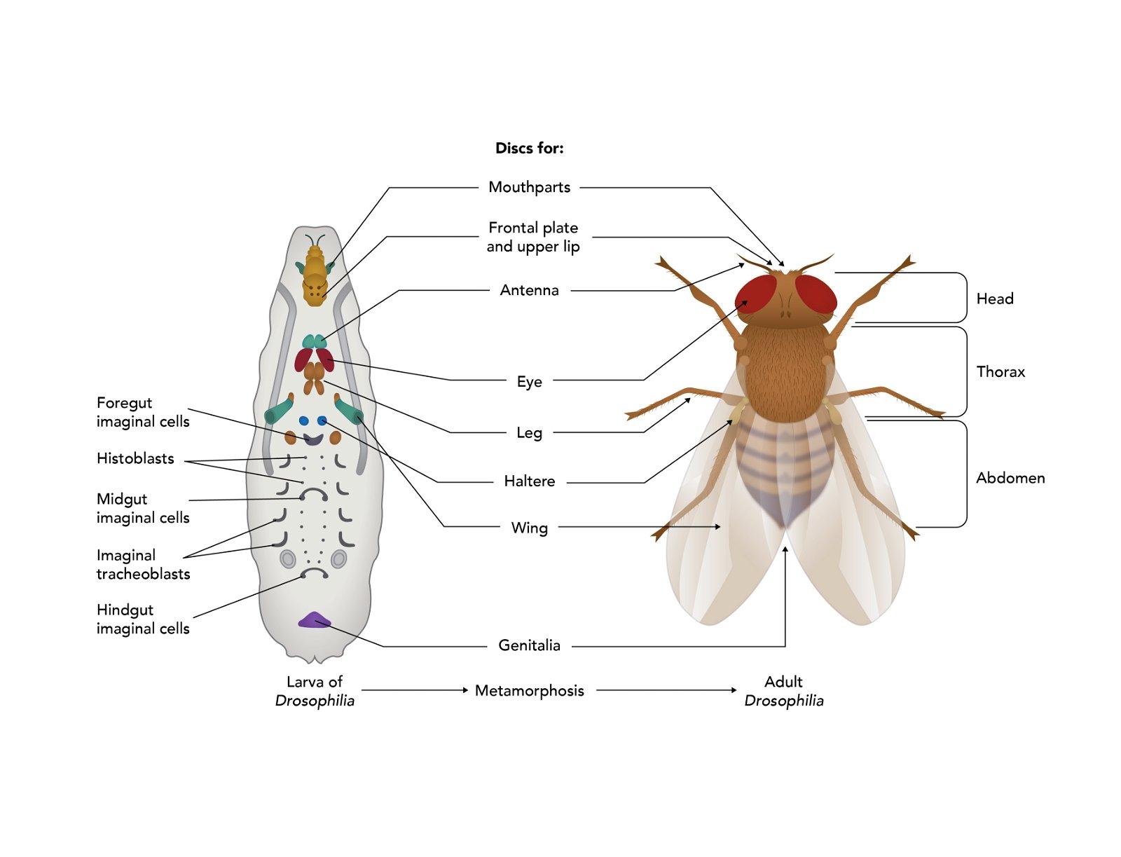 Fruit Fly Diagram Label Wiring Diagram Imp