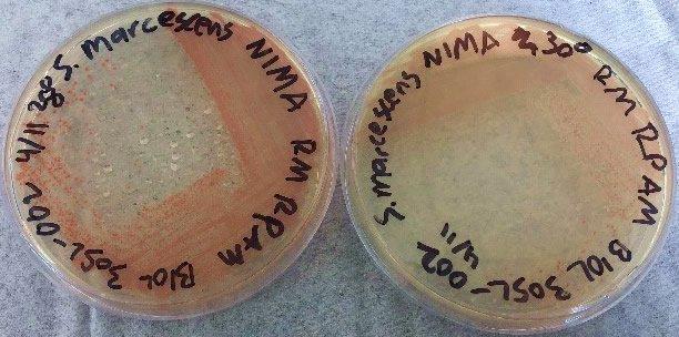 The NIMA strain of S. marcescens on TSA at 28–30°C.