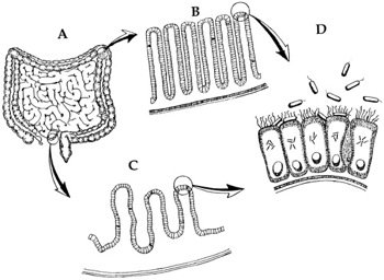 Figure4: E. coli intestines