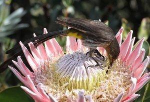 Cape Sugarbird on Protea cynaroides