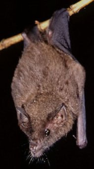 Geoffroy's Tailless Bat