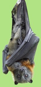 Grey-headed Flying Fox with baby