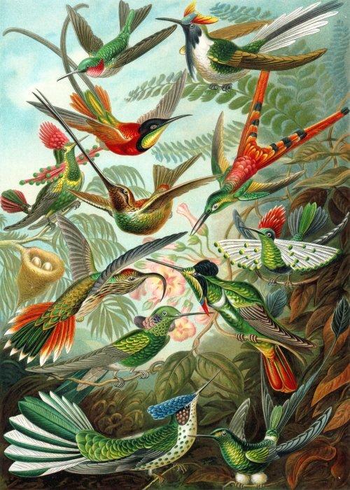 Twelve members of the Hummingbird family