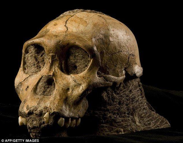 sediba-skull