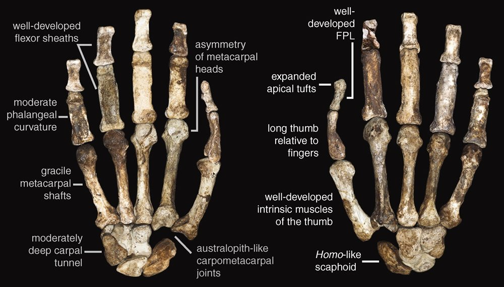 Right Hand of MH1 Australopithecus sediba