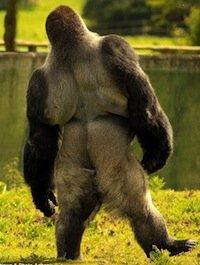 gorilla walking