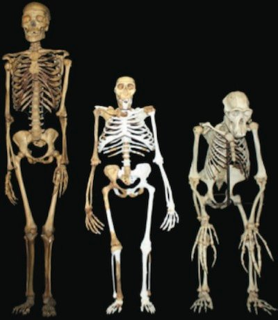 comparing-sediba-skeleton