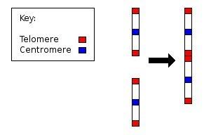 chromosome merge
