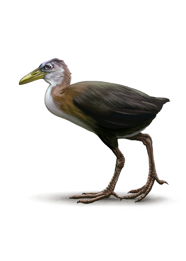 Flightless Rail