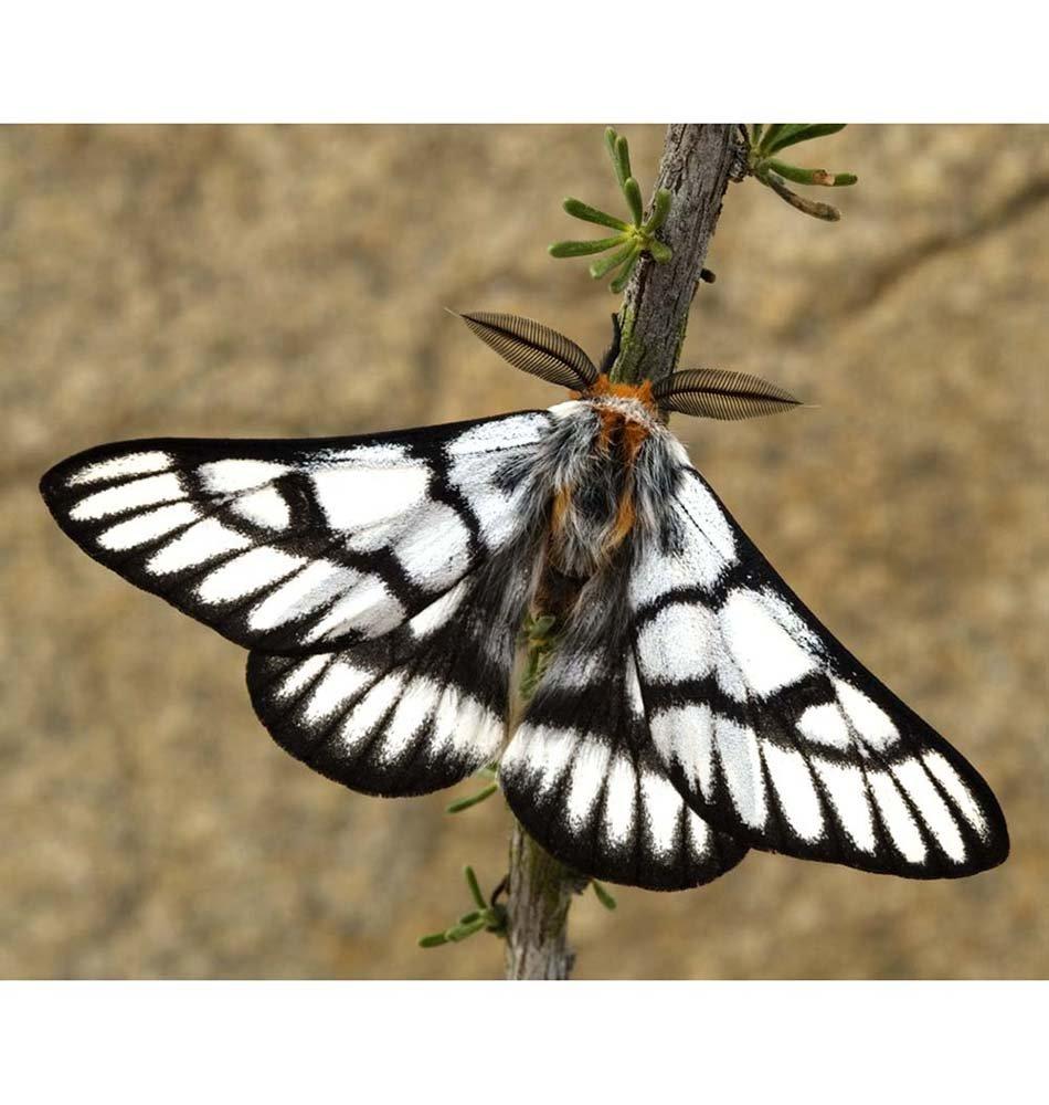Hemileuca Griffini