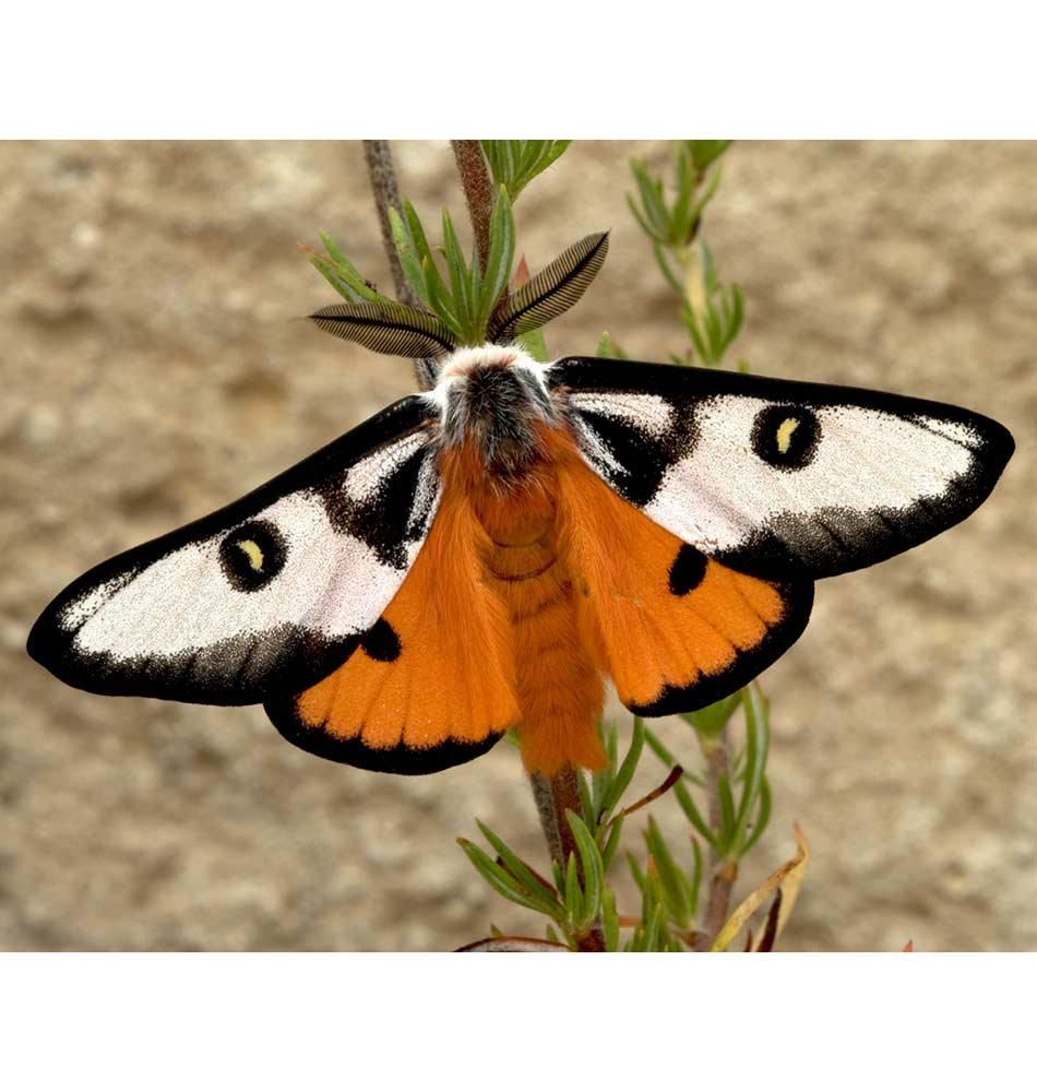 Hemileuca Electra Mojavensis
