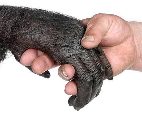 Chimp and Human Hands