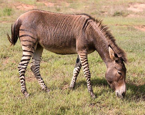 Zebra Hybrid