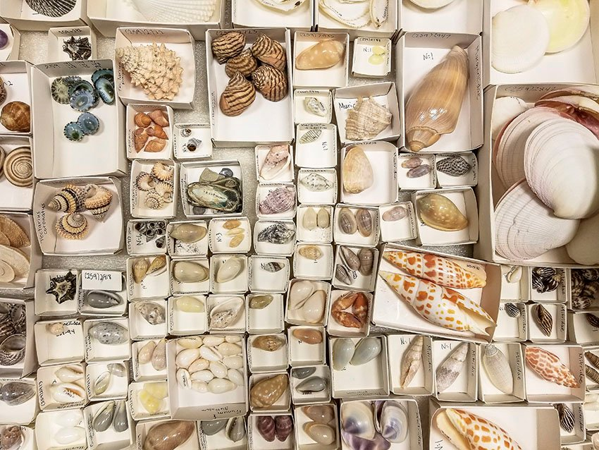 Museum Shell Collection