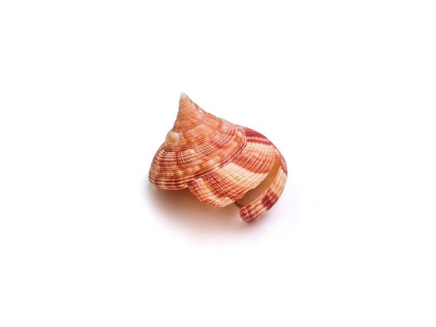 Slit Snail