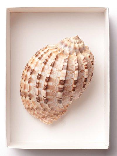 Harp Snail