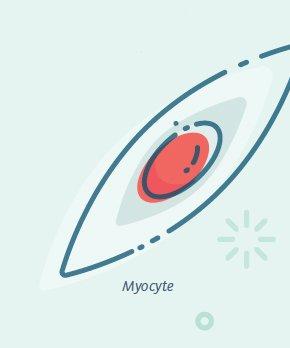 Myocyte